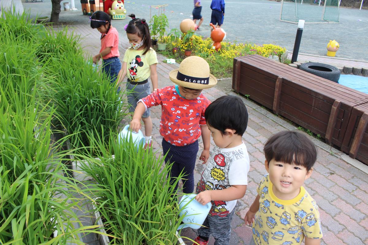 稲に水やりをしている園児