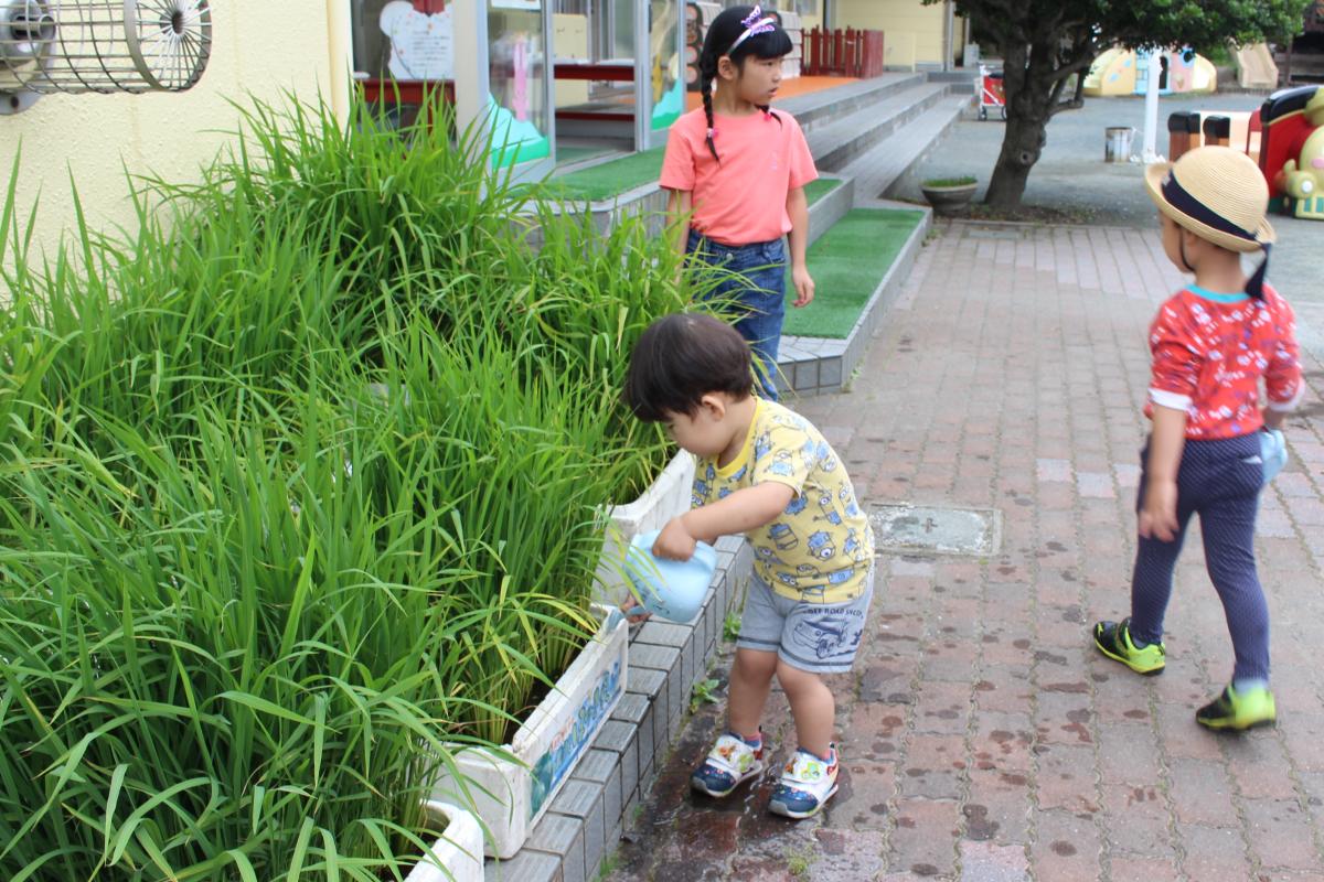 一歳児が稲に水やりをしている様子
